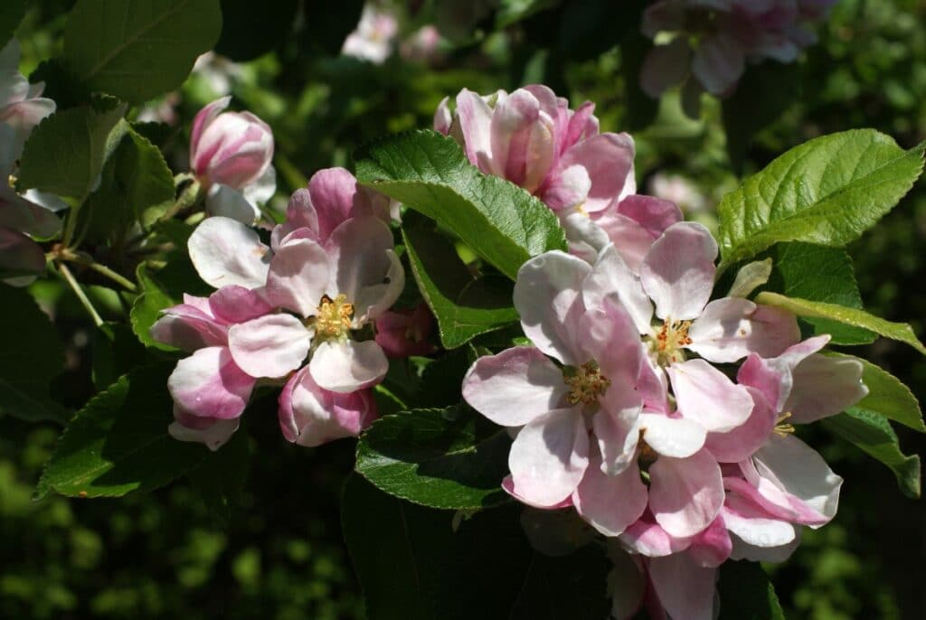 aeble traet i blomst i maj