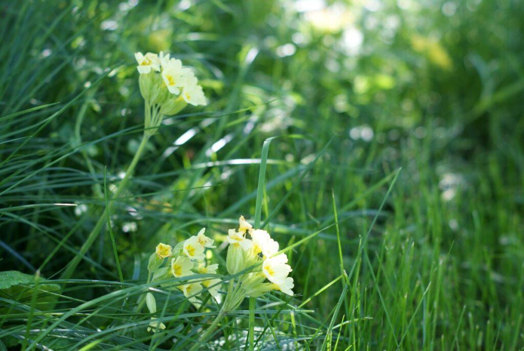 gul blomst i haven i maj