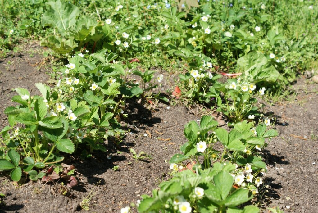 jordbaer og rabarber i maj
