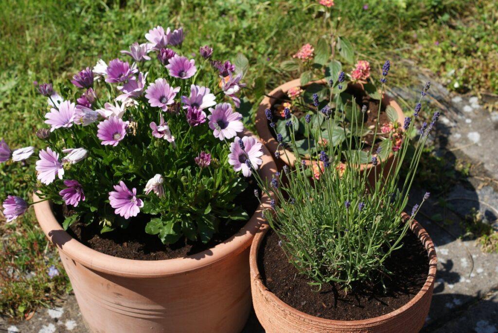 krukker paa terassen i maj