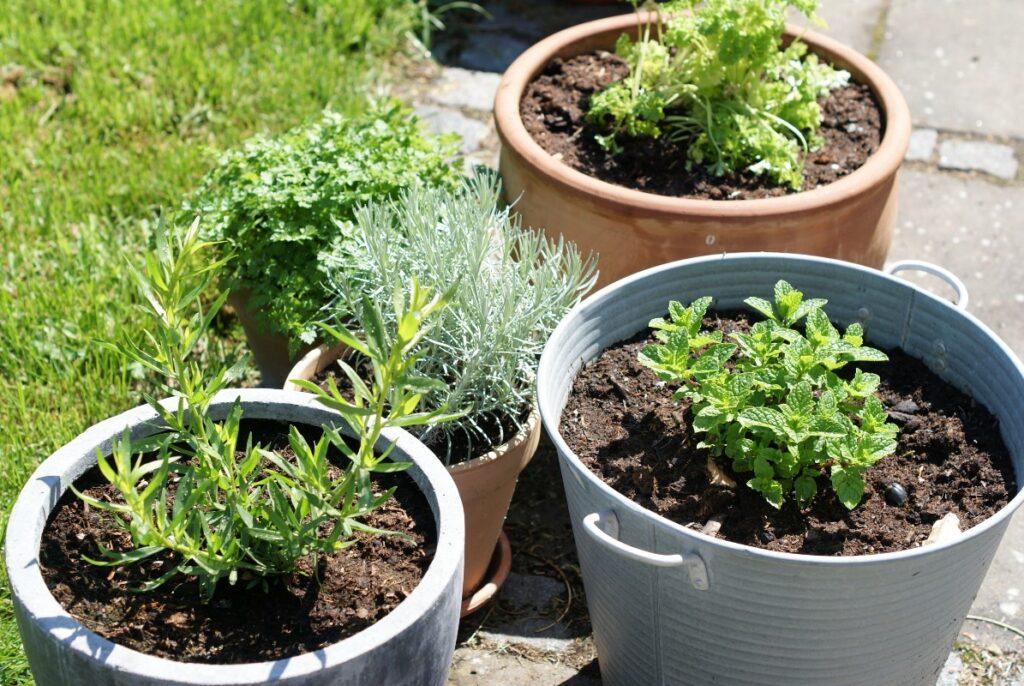 krydderurter i haven i maj
