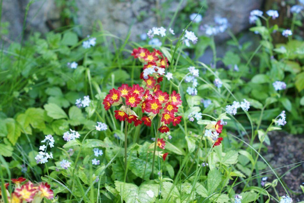 roed blomst i haven i maj
