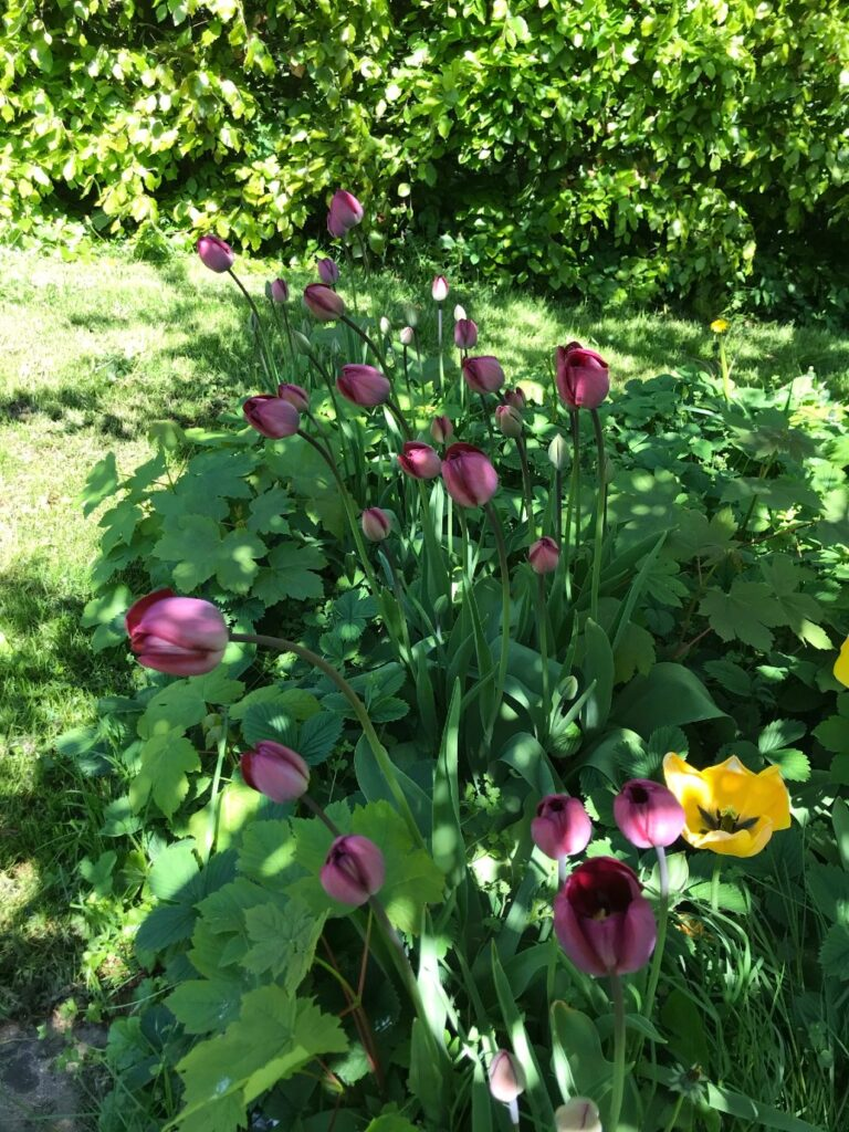 tulipaner i haven i maj